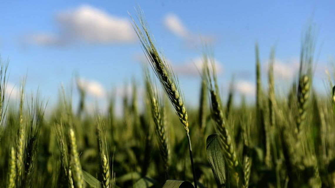 A wheat field in Ramallo, Buenos Aires Province.
