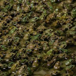 Las ranas se paran en un estanque en una granja de ranas en Pierrelatte, al sur de Lyon. - Los franceses comen alrededor de 4.000 toneladas de ranas cada año, según la Agencia de Seguridad Alimentaria.   Foto:JEFF PACHOUD / AFP