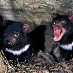 Pasaron tres milenios desde que un ejemplar del Demonio de Tasmania fue visto en Australia continental.