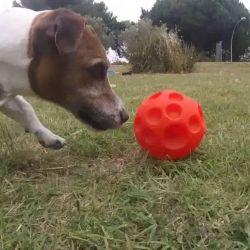 Si bien se empezó a estudiar en las especies en cautiverio en los zoológicos, el enriquecimiento ambiental también debe utilizarse en los perros que viven en cautividad..