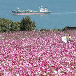 Una pareja se toma una selfie en el parque de la isla Nokonoshima en la isla Nokonoshima, en la bahía de Hakata, prefectura de Fukuoka, mientras el cosmos de floración temprana estaba en plena floración en la pendiente de 10,000 pies cuadrados del parque cubierta de rosa y púrpura.   Foto:JIJI PRESS / AFP