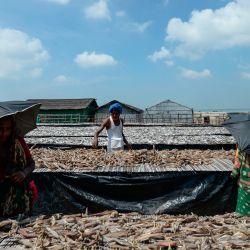 Los trabajadores organizan el secado al sol del pescado en un patio de procesamiento en Cox's Bazar. | Foto:Munir Uz zaman / AFP