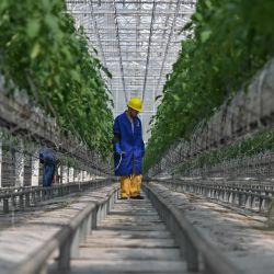 Un empleado trabaja en un cultivo de tomates en invernadero de Chuishan Agriculture Holding durante una gira de medios organizada por el gobierno local en Zhenjiang, en la provincia oriental de Jiangsu. | Foto:Hector Retamal / AFP