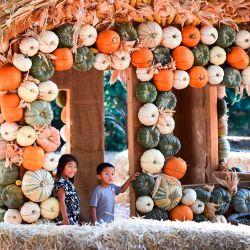 Las calabazas de Halloween se exhiben para tomar fotografías en el evento  | Foto:Frederic J. Brown / AFP