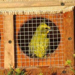 Liberan 27 cardenales amarillos en el sur de la provincia de Buenos Aires. Fueron secuestrados del tráfico ilegal de animales.