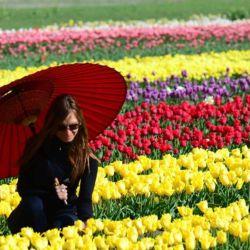 Durante fines de octubre y principios de noviembre los tulipanes florecen en Trevelin, Chubut, ofreciendo la imagen más colorida de la Patagonia.