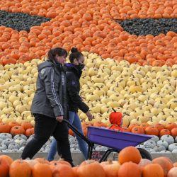 Inglaterra: un niño vestido con un traje de calabaza es empujado en una carretilla por dos mujeres mientras participan en la recolección de calabazas en Sunnyfields Farm antes de Halloween. | Foto: Andrew Matthews / PA Wire / DPA