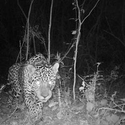 Los especialistas esperan que el macho silvestre, Quaramtá, se sienta atraído por Tania y puedan aparearse.