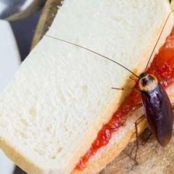 Son capaces de comer absolutamente todo, desde restos de comidas, frutas y pegamentos hasta heces.