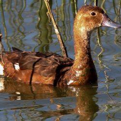 Históricamente el pato picazo arribaba a la estepa chubutense procedente del norte argentino y del sur de Bolivia y de Brasil, en los últimos años se lo ha visto llegar hasta los ambientes acuáticos de Esquel.