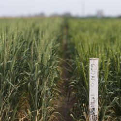 Wheat, genetically modified by the Bioceres agricultural biotechnology company (taller plants on left), are seen next to natural wheat in an experimental field in Pergamino, on October 15, 2020.