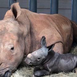 El pequeño rinoceronte blanco macho nació el pasado domingo 25 de octubre.