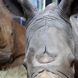 Tanto el simpàtico rinocerente como su mamà estàn en perfecto estado de salud.