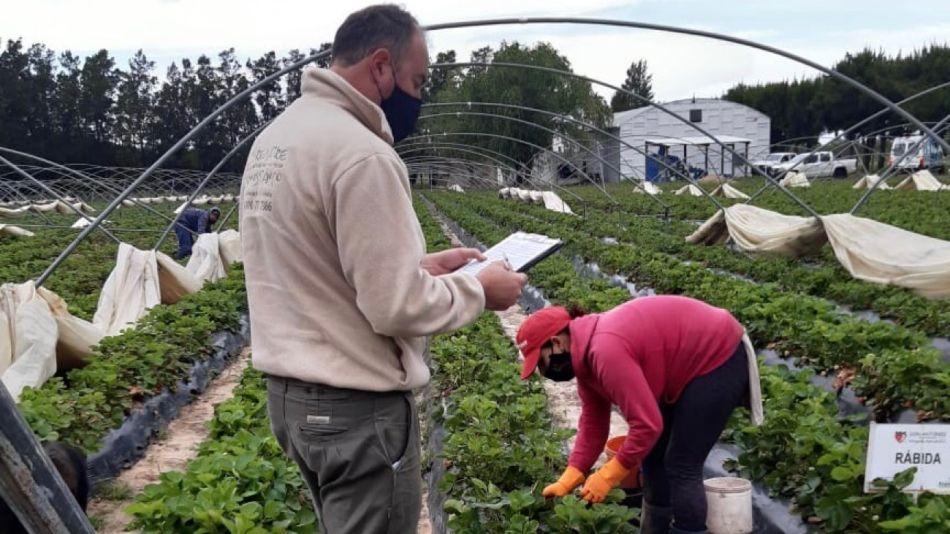Detectan trabajo no registrado en la cosecha de frutilla