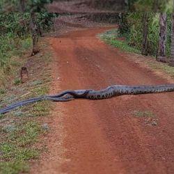 La anaconda descubierta por un grupo de estudiantes en Brasil mide nada menos que 6 metros.