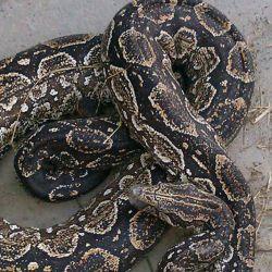 En la provincia de Buenos Aires hay 22 especies de serpientes.