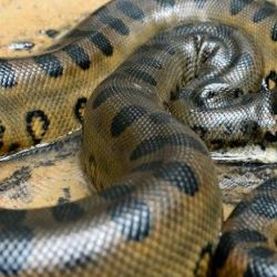 La anaconda es considerada la serpiente más grande del mundo.