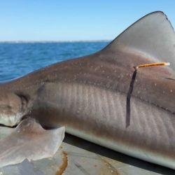El programa conjunto entre la Argentina y Uruguay lleva marcados casi 3.000 ejemplares de tiburones.