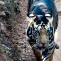 La primera vez que se vio un tigre negro en India fue en el año 1990.