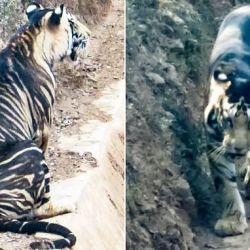 """Popularmente conocido como """"tigre melánico"""", esta variedad solo habita en Odisha,India."""