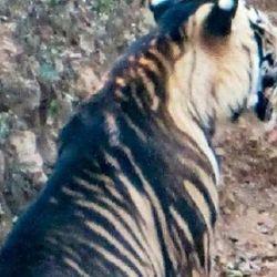 Solo quedan entre siete y ocho tigres negros en India.