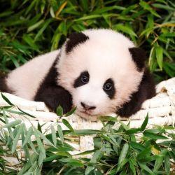 Al nacer, la pequeña y dulce panda acusó un peso de tan solo 197 gramos y midió 16,5 cm. de largo.