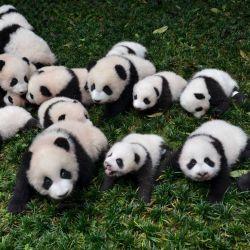 Los osos pandas son una de las tantas especies de animales que están en serio peligro de extinción.