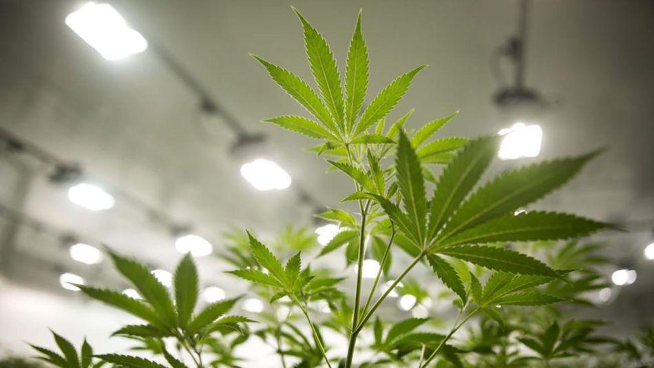 Cannabis 20201112