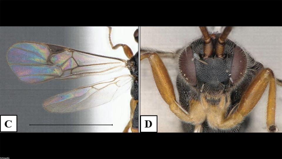 Avispa Microgaster godzilla 20201112