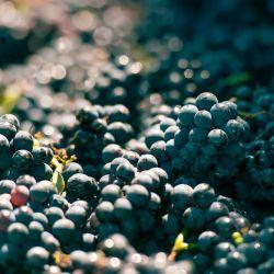 De la uva al brindis
