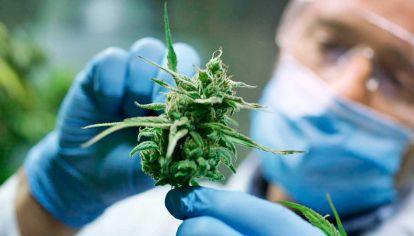 Decreto. La reglamentación de la Ley 27.350 facilita la investigación científica orientada a usos terapéuticos del cannabis.