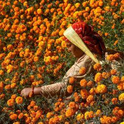 Una mujer cosecha flores de caléndula antes del próximo festival hindú Tihar en la aldea de Ichangu Narayan, en las afueras de Katmandú. | Foto:Prakash Mathema / AFP