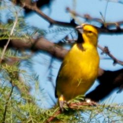 El cardenal amarillo es una especie que está en serio peligro de extinción.