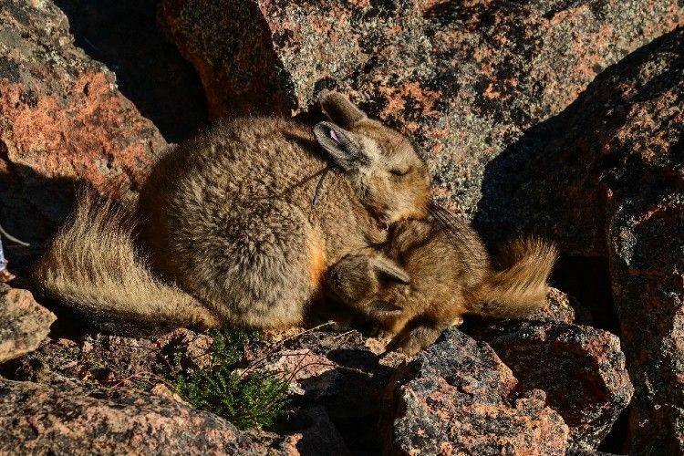 El Chinchillón anaranjado es un roedor de distribución muy restringida, que se encuentra en Santa Cruz.