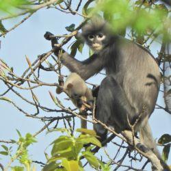 En todo el mundo solo hay 250 ejemplares de esta especie de primate.