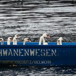 Hamburgo: los cisnes se sientan en un barco que navega por el afluente del Alster. Los cisnes de Alster se trasladan estacionalmente a sus nuevos cuarteles de invierno sin hielo en Eppendorf Mill Pond hasta que llega la primavera. | Foto:Christian Charisius / DPA