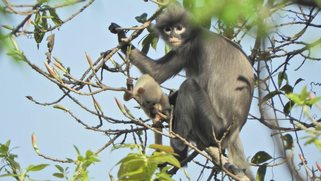 Te presentamos al extraño y simpático primate que descubrieron en Birmania