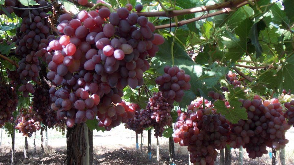 Las uvas sin semilla son preferidas por los consumidores