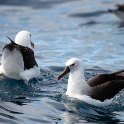Su tierra es un refugio muy preciado por el albatros de nariz amarilla que está en serio peligro de extinción.