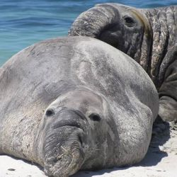 En sus aguas habitan numerosas especies marinas en extinción, como el elefante marino.