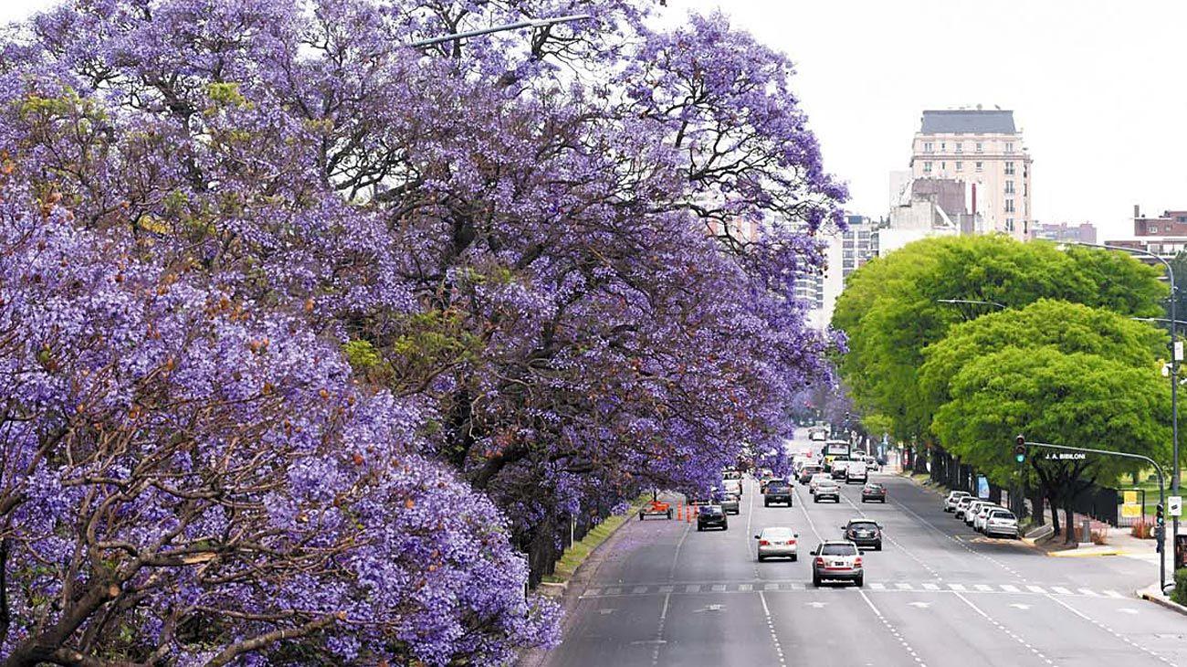 Urbano. La concentración de jacarandás se registra en todos los barrios, sobre todo en Recoleta, Palermo y Parque Patricios.