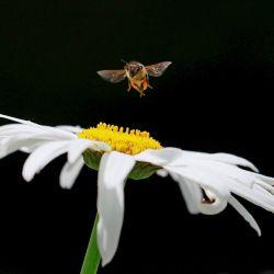 Las abejas enfrentan una enorme presión sobre el número de su población debido a la pérdida de hábitat.