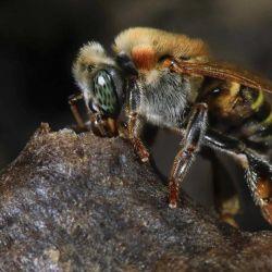 El mapa permitirá comprender mejor los patrones de riqueza de las abejas y garantizar que se conserven de manera efectiva en el futuro.
