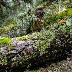 El kea se pasea por un tronco, llamando la atención de los turistas. Foto: Florian Sanktjohanser/dpa