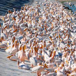 Pelícanos blancos en un embalse en Mishmar HaSharon, la ciudad costera mediterránea de Tel Aviv, en el norte de Israel. Miles de pelícanos migrantes pasan por Israel en su camino a África y luego nuevamente cuando regresan a Europa en el verano. | Foto:Jack Guez / AFP