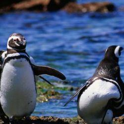 Actualmente los pichones de pingüino de Magallanes se encuentran en plena etapa de alimentación.