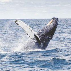 Aunque lento, las ballenas azules están regresando a su vieja casa tras 50 años.