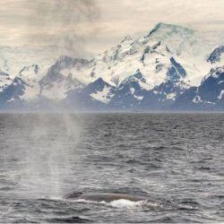 El último estudio que se realizó a principios de este año arrojó como resultado 50 avistamientos de ballenas azules en la zona.