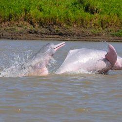 La Comisión Ballenera Internacional apoyó la propuesta que busca proteger a los emblemáticos mamíferos acuáticos que habitan en la cuenca del Amazonas.