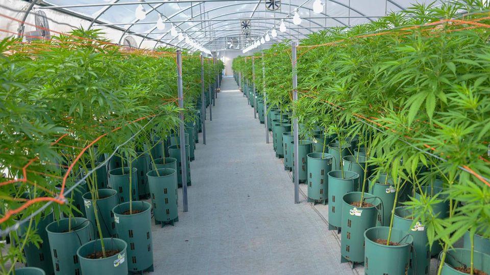 Jujuy comenzó a producir cannabis, es la primera provincia del país (y el laboratorio es dirigido por el hijo del gobernador)
